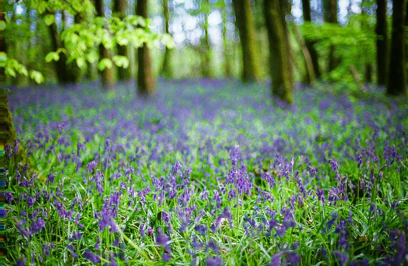 bluebells/woodland