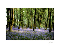 Bluebells at Clogrennan Wood.